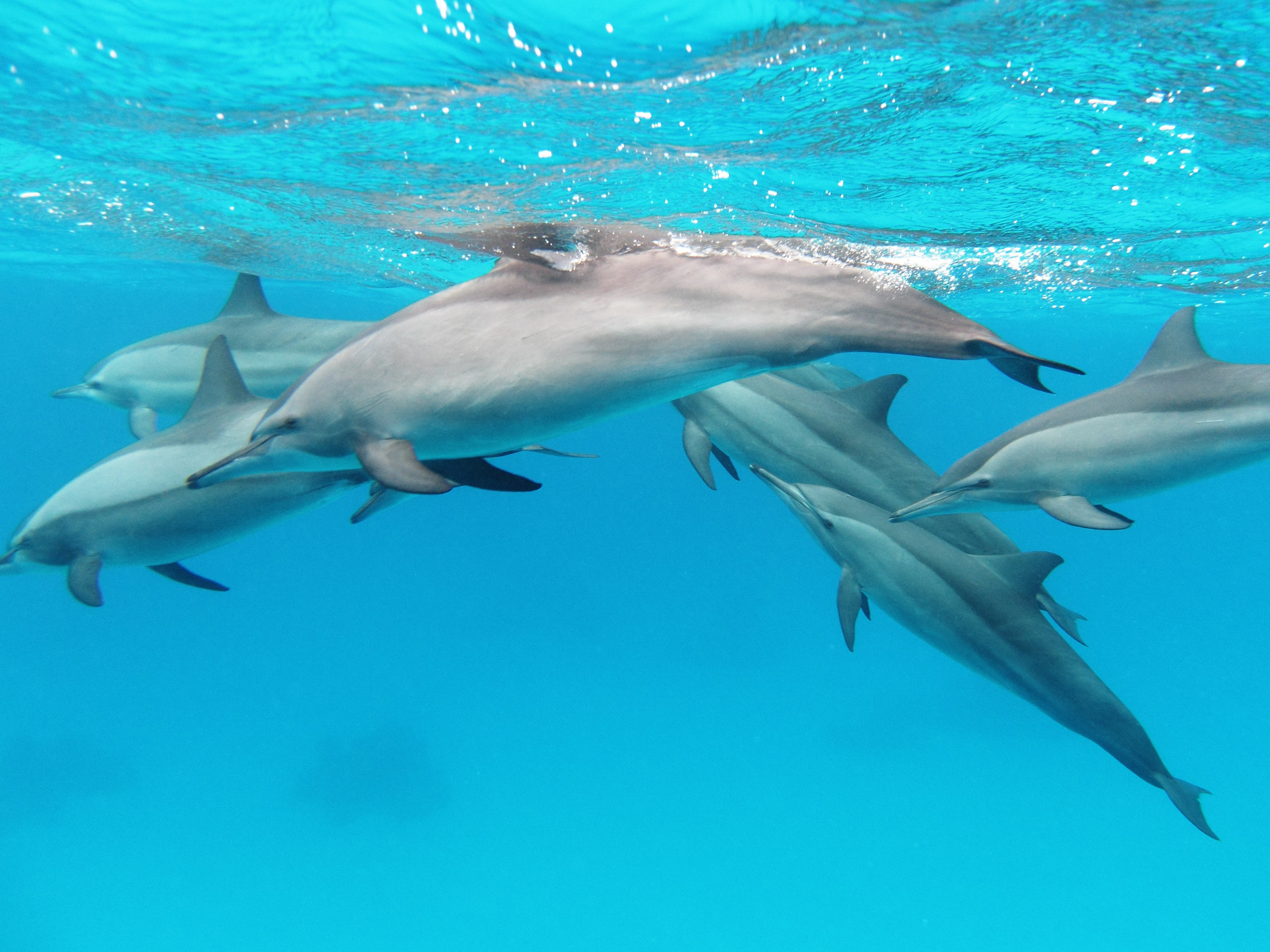HMA pods red spinner dolphins